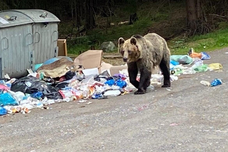 medveď, odpadky, Podbanské